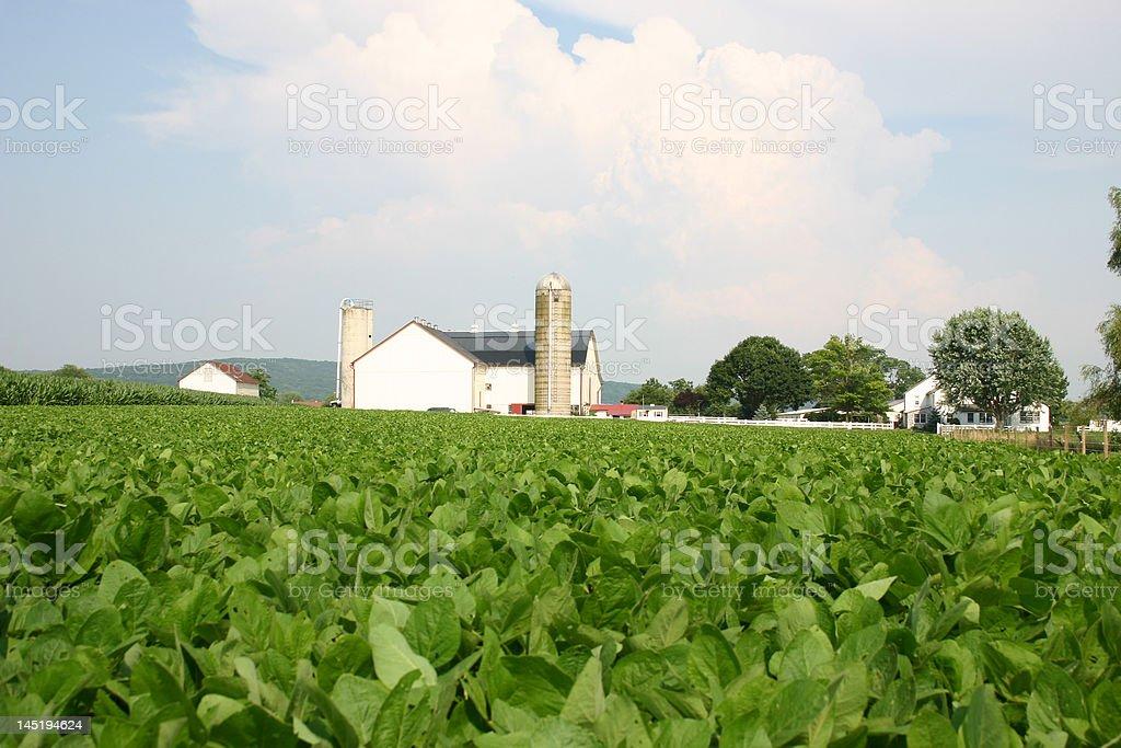 Tobacco Farm royalty-free stock photo