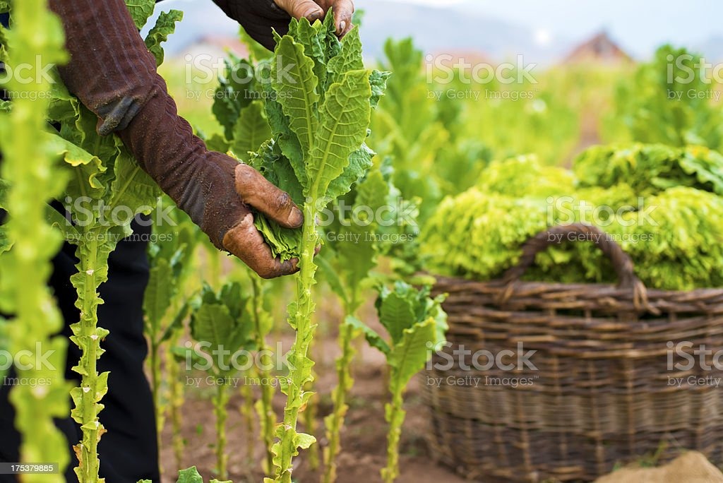 Tobacco farmer stock photo