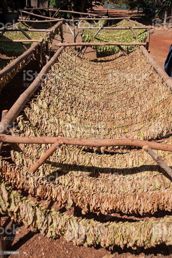 tobacco farms stock photo