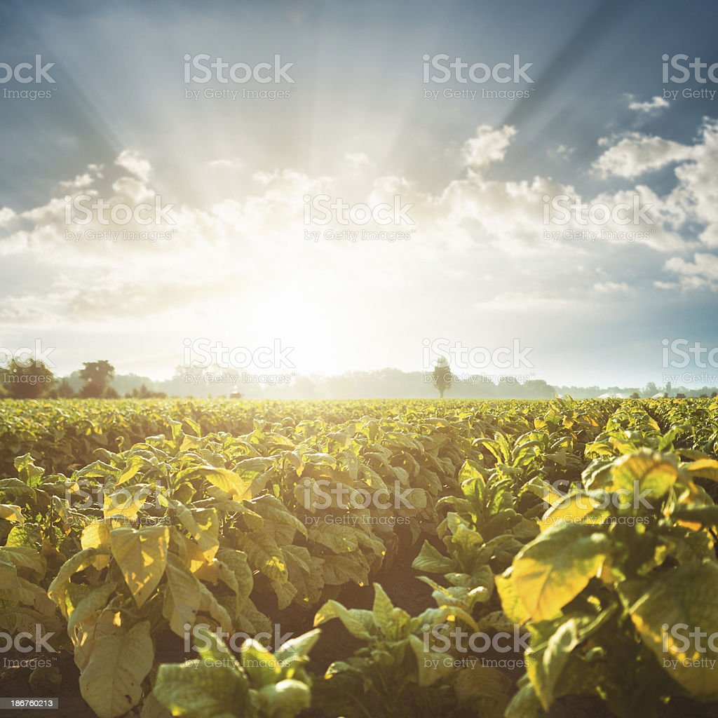 Tobacco field at sunset stock photo