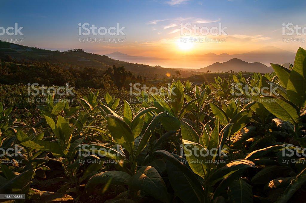 Tobacco Field in Indonesia stock photo