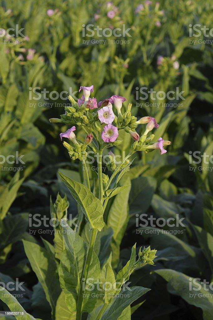 Tobacco Field royalty-free stock photo