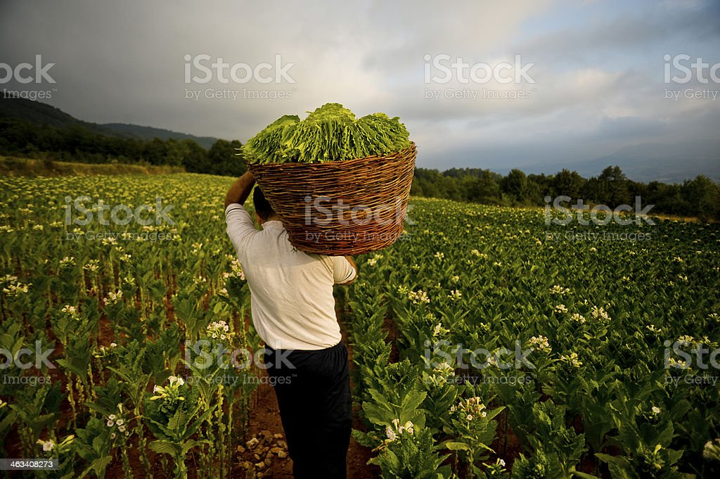 Tobacco harvest stock photo