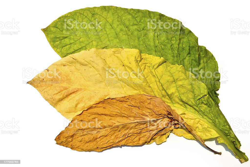Tobacco Leaf Of Thailand royalty-free stock photo