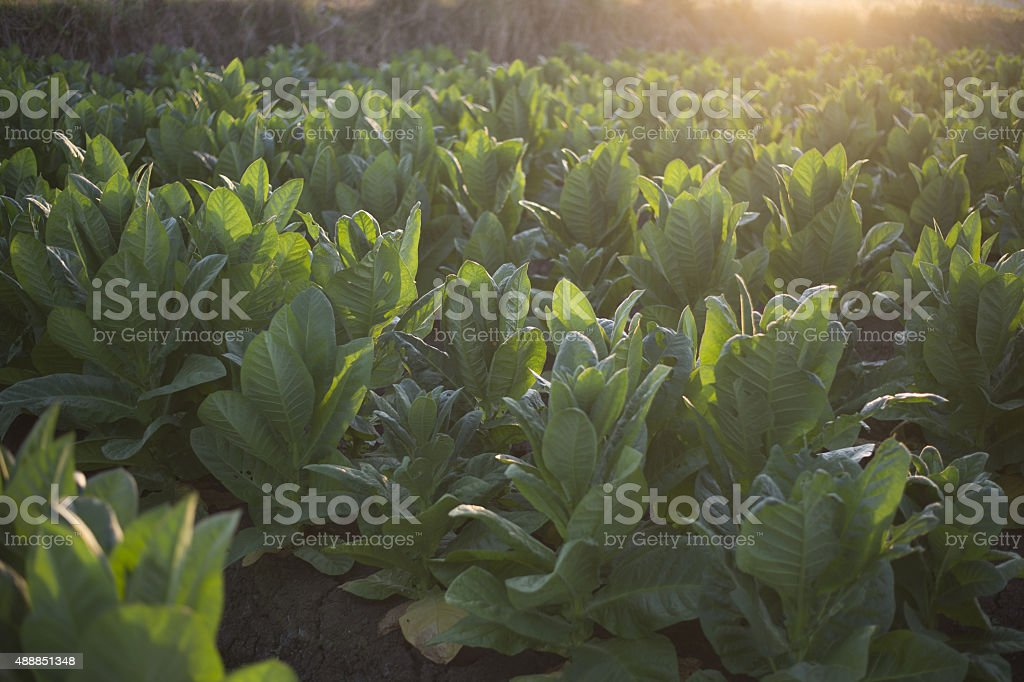 Tobacco Leaves at sunrise stock photo