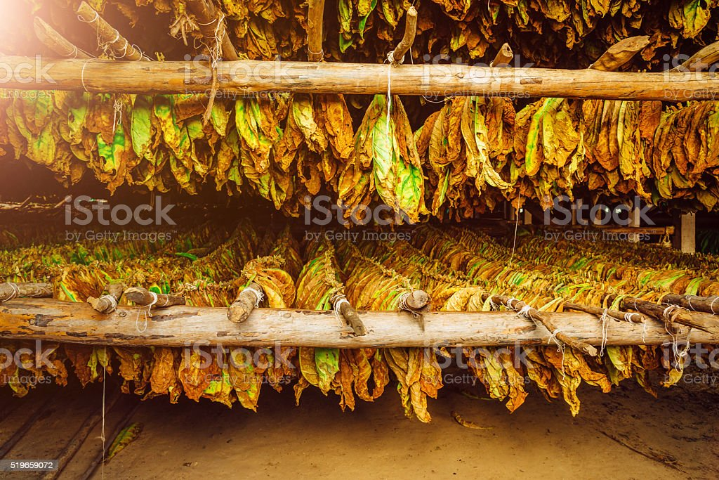 Tobacco leaves drying in the shed, Cuba stock photo