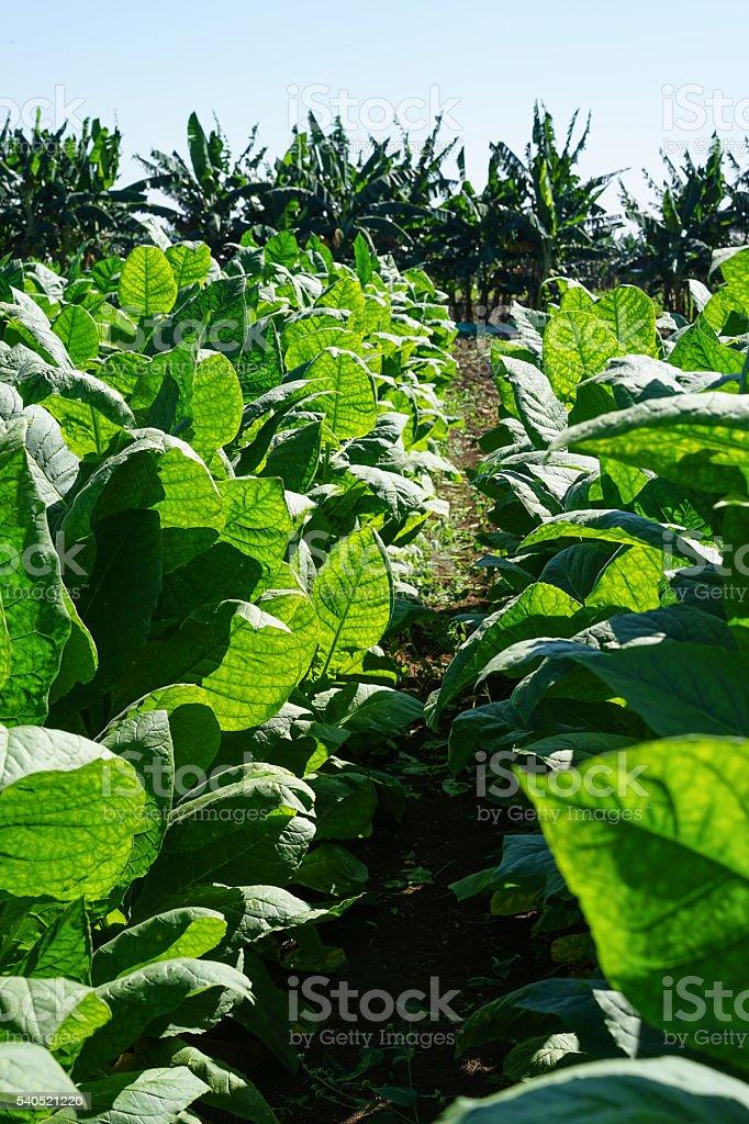 Tobacco leaves harvest stock photo