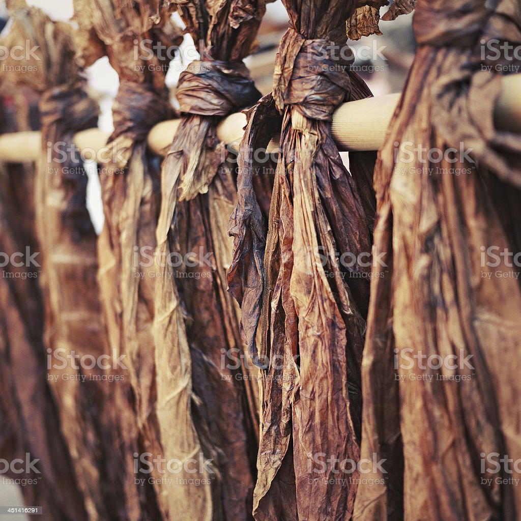 Tobacco leaves royalty-free stock photo