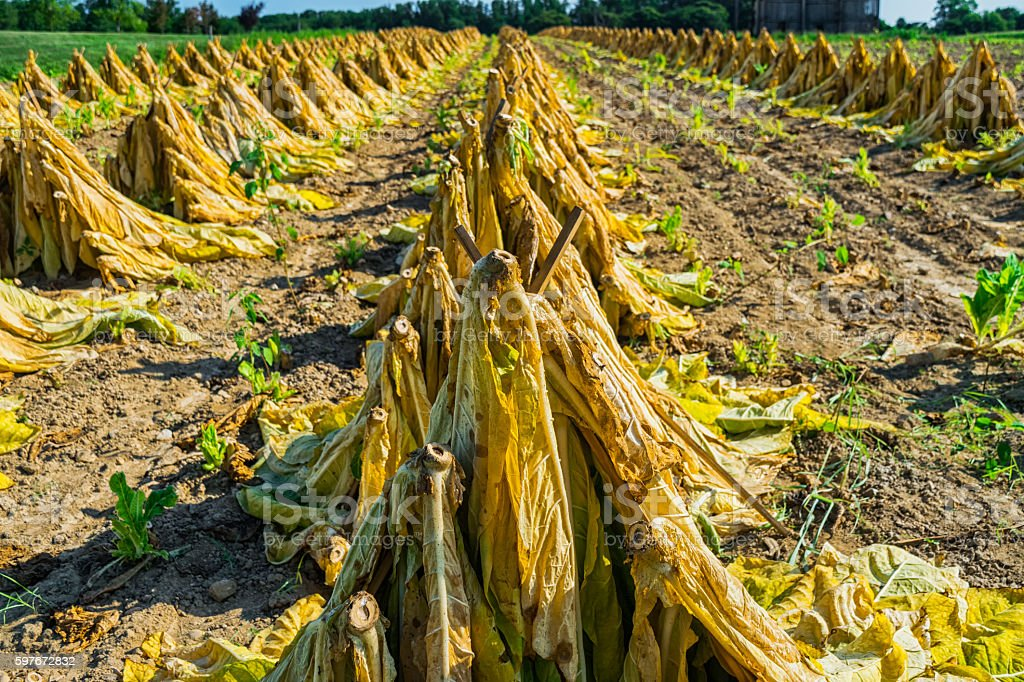Tobacco leaves staked like teepees stock photo