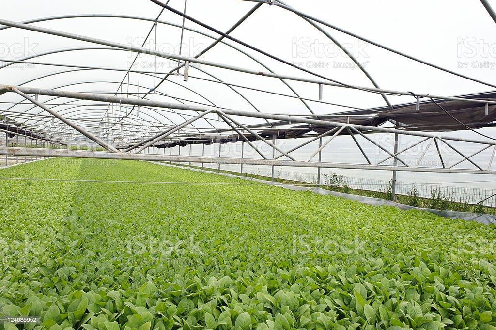tobacco nursery stock photo