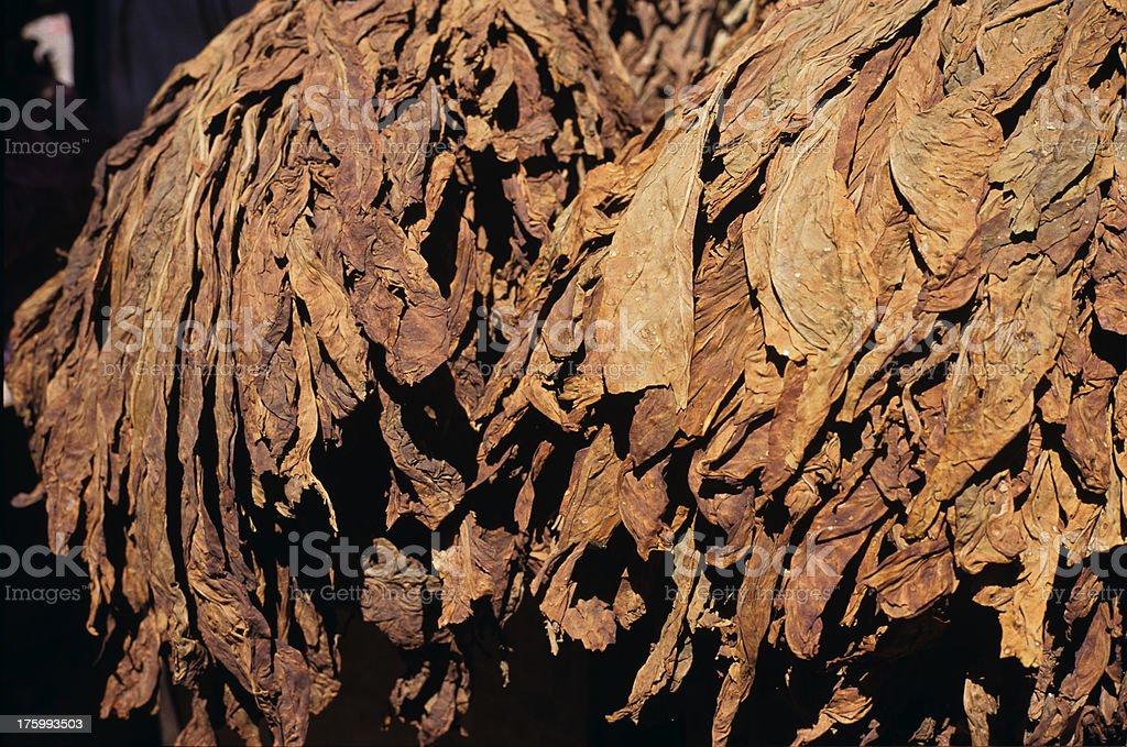 Tobacco stock photo