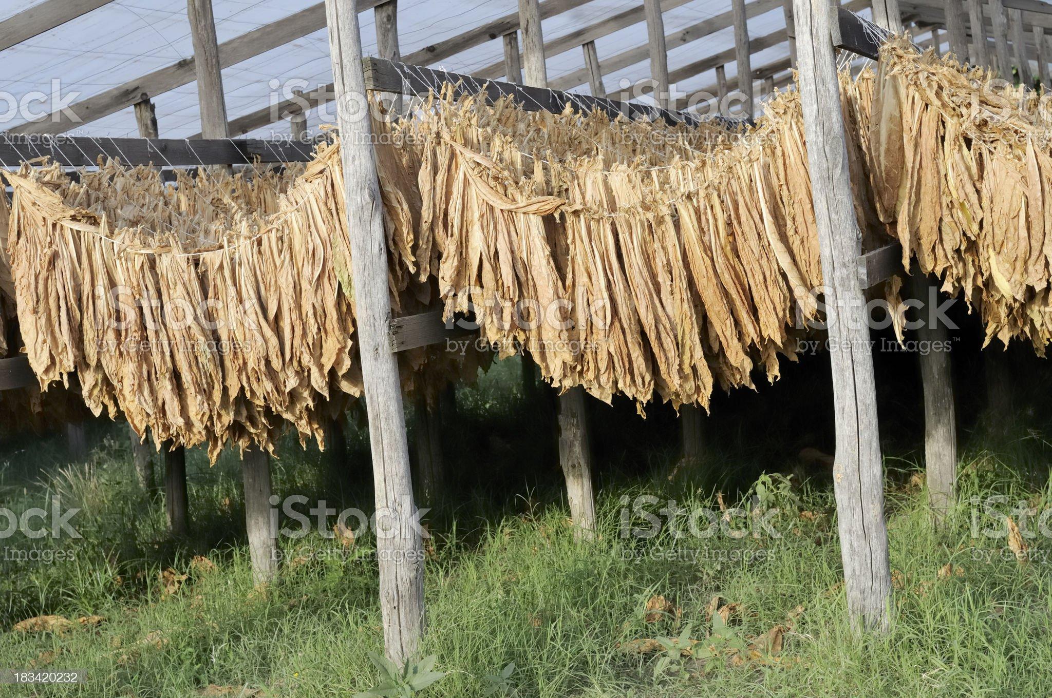 Tobacco royalty-free stock photo