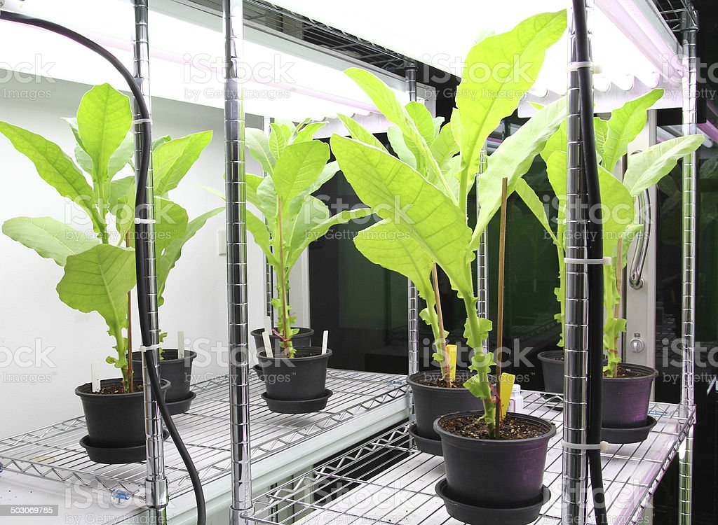 Tobacco plant for disease testing. stock photo