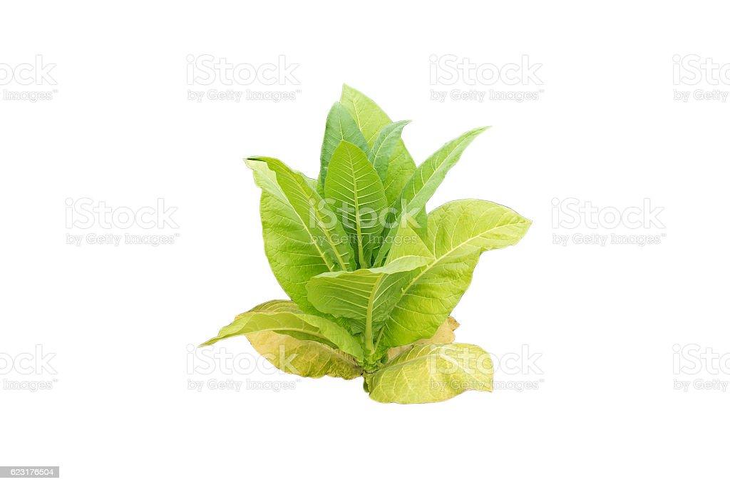 Tobacco plant on white background. stock photo