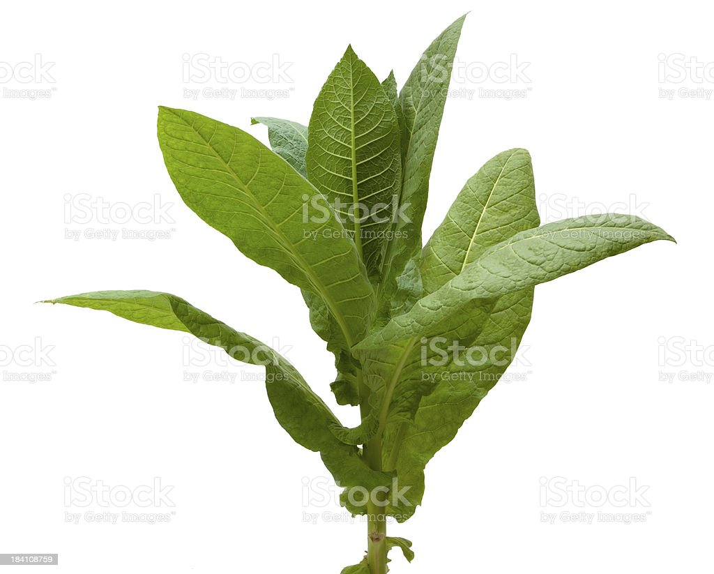 Tobacco Plant. stock photo