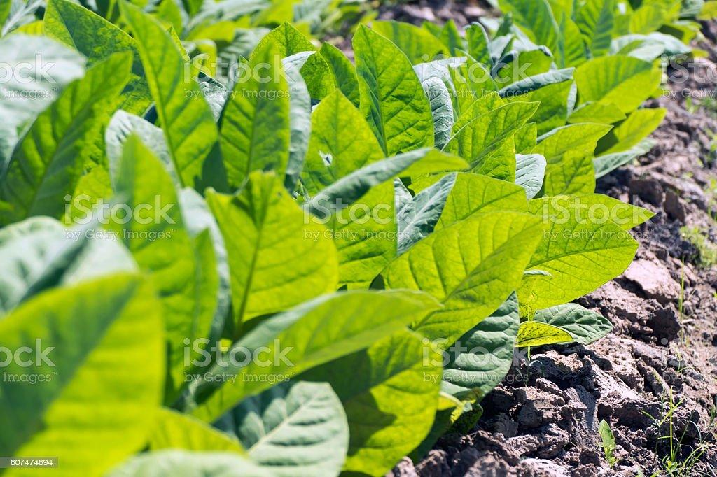 Tobacco Plant stock photo