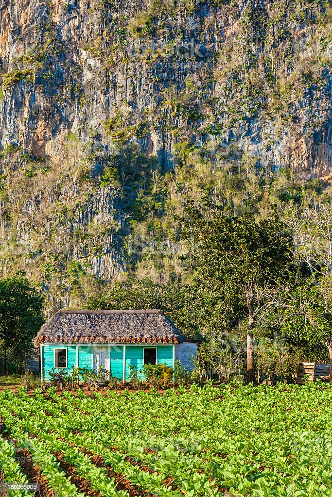 Tobacco Plantation, Cuba stock photo