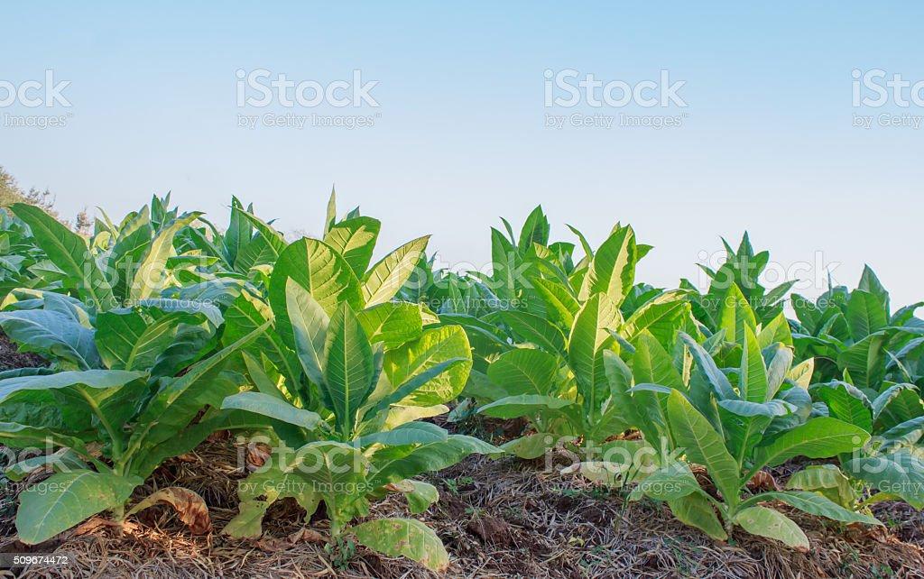 Tobacco plantation stock photo