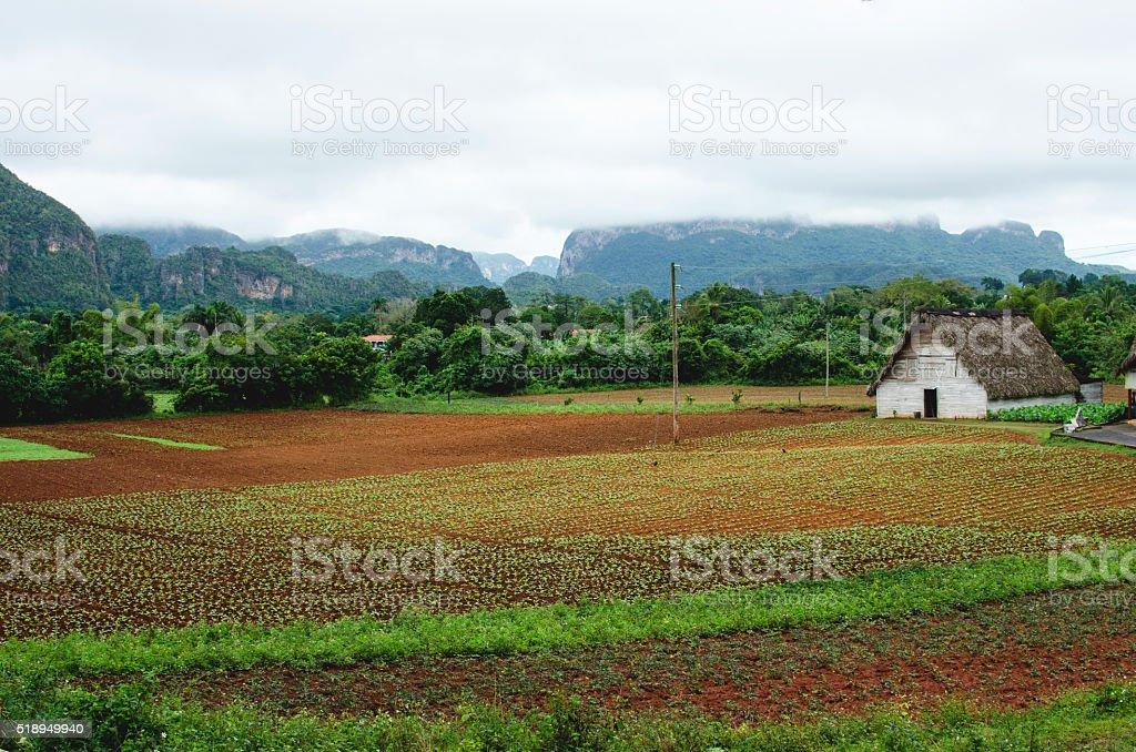 tobacco plantations in Viñales, Cuba stock photo