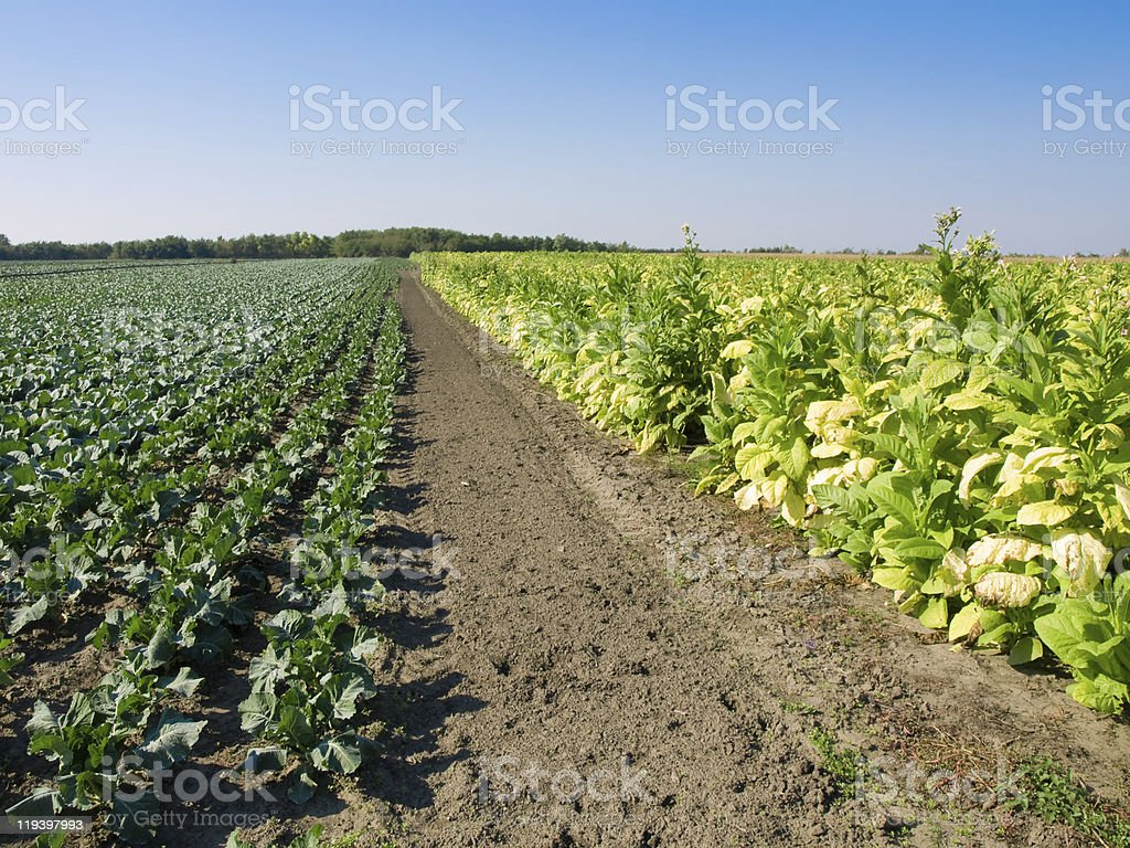 Tobacco Plants and Cabbage stock photo