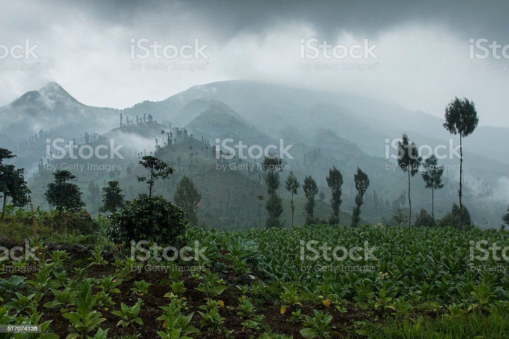Tobacco plants in the Tambi  Highlands, Dieng, Indonesia stock photo