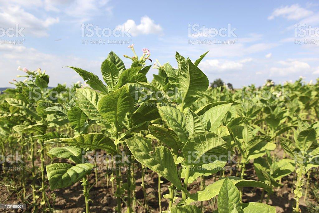 Tobacco Plants royalty-free stock photo