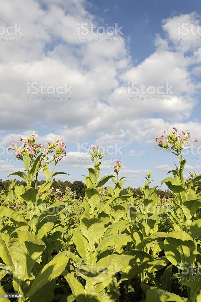 tobacco plants royalty-free stock photo