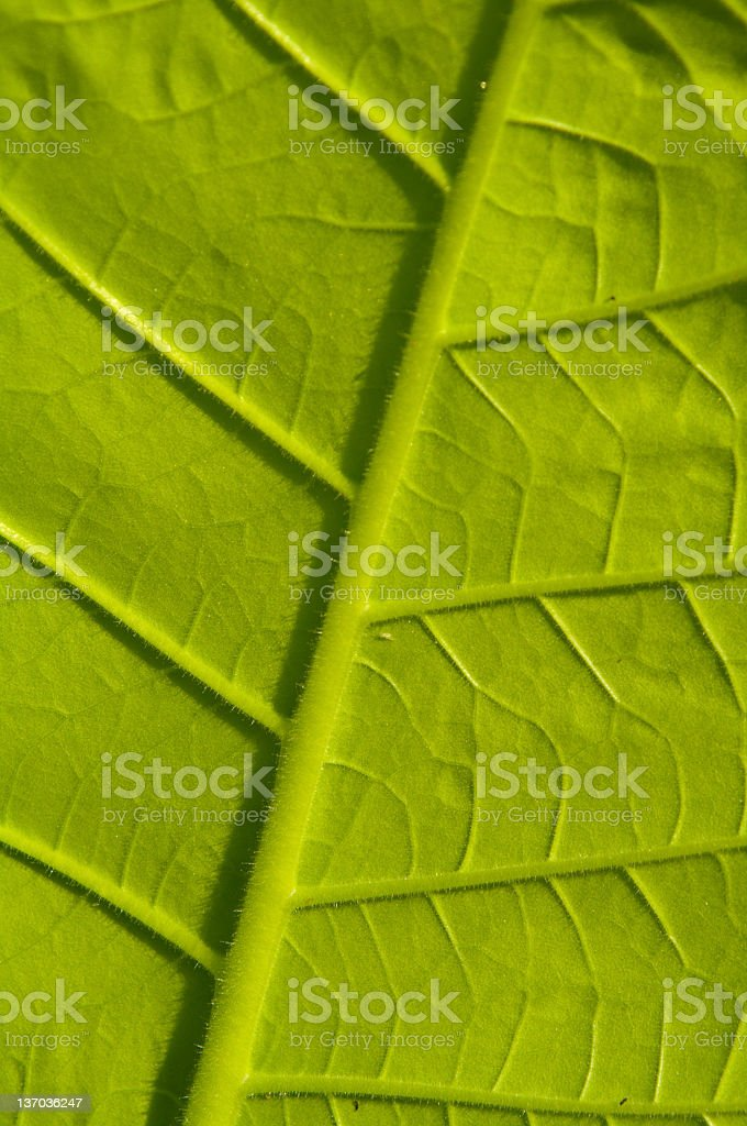 Tobbacco leaf stock photo