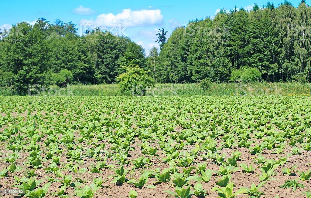 Tobbaco plantation in Poland stock photo