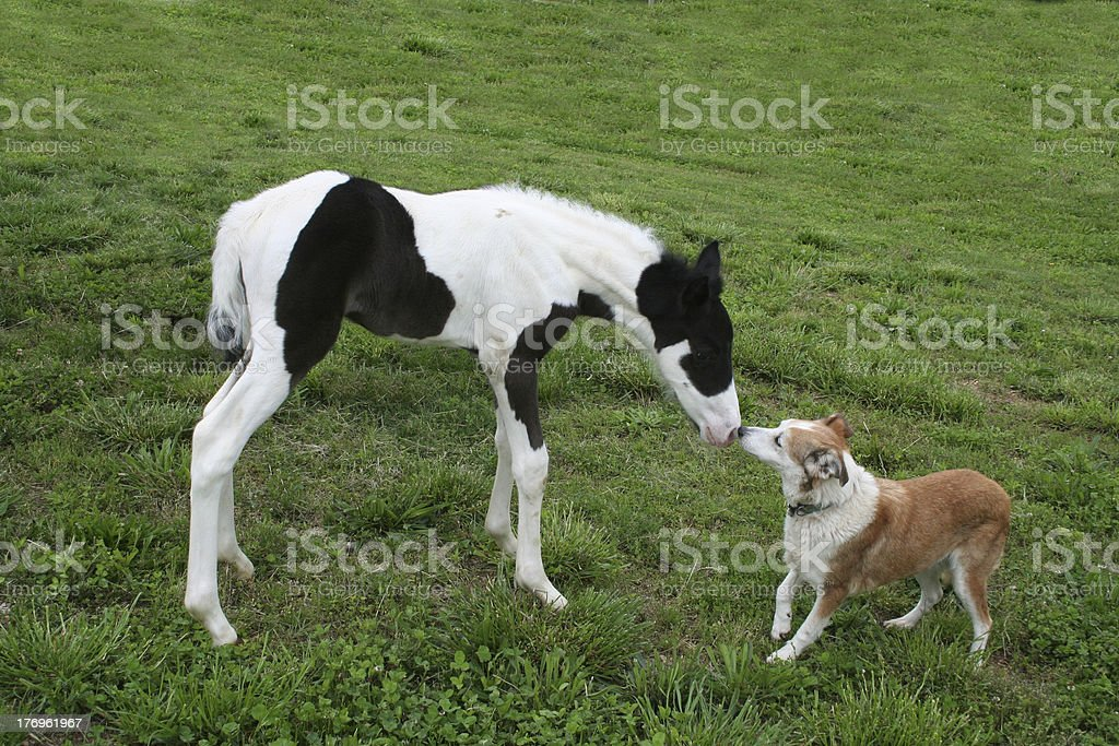Tobiano Foal and Old Dog stock photo
