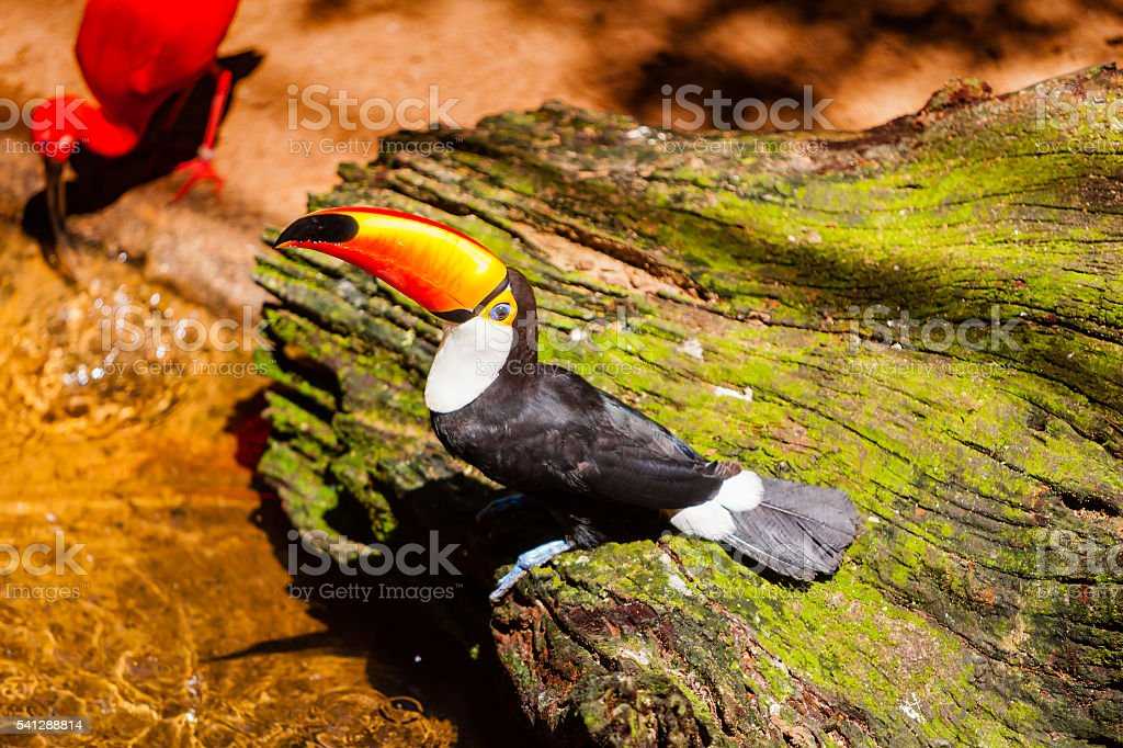Toco Toucan in a Brazilian rainforest. stock photo