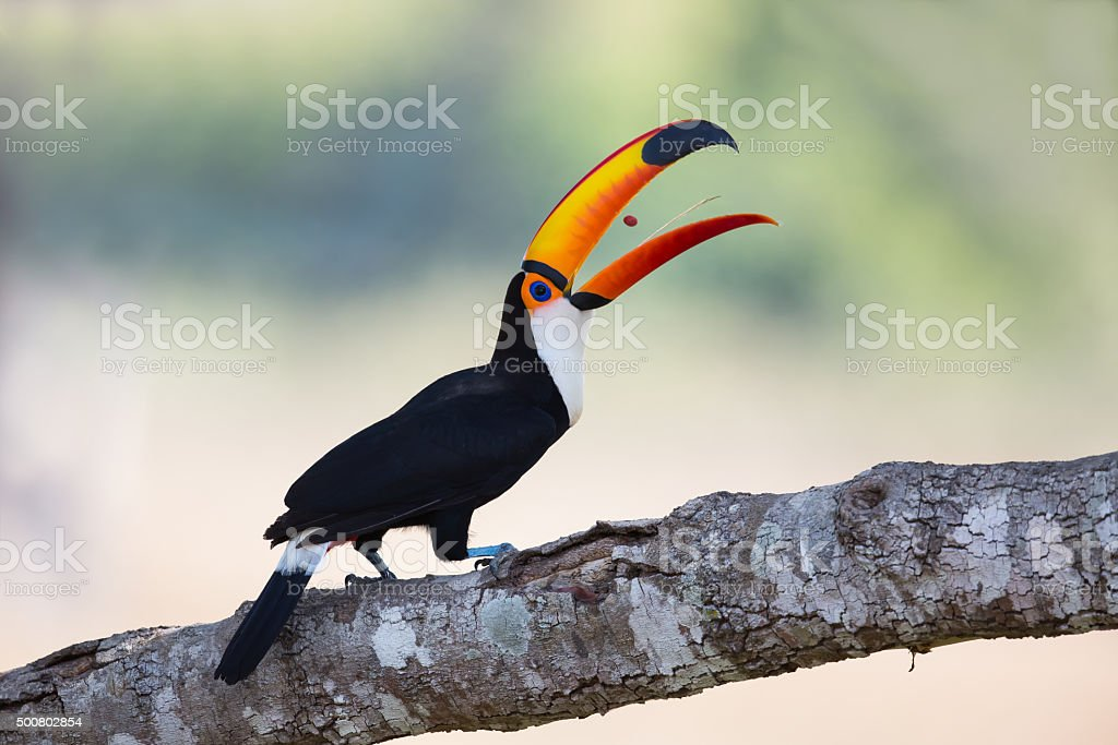 Toco Toucan tossing a berry stock photo
