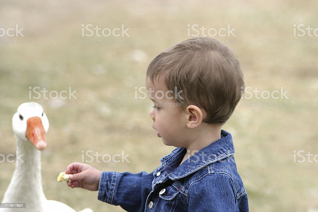 Toddler Boy Sharing Food With Goose royalty-free stock photo