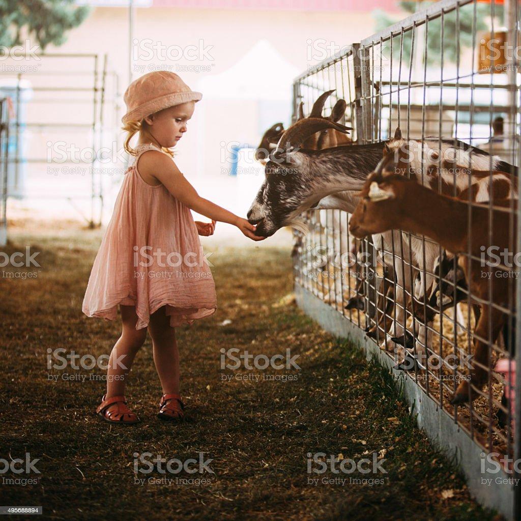 Toddler feeding goats stock photo