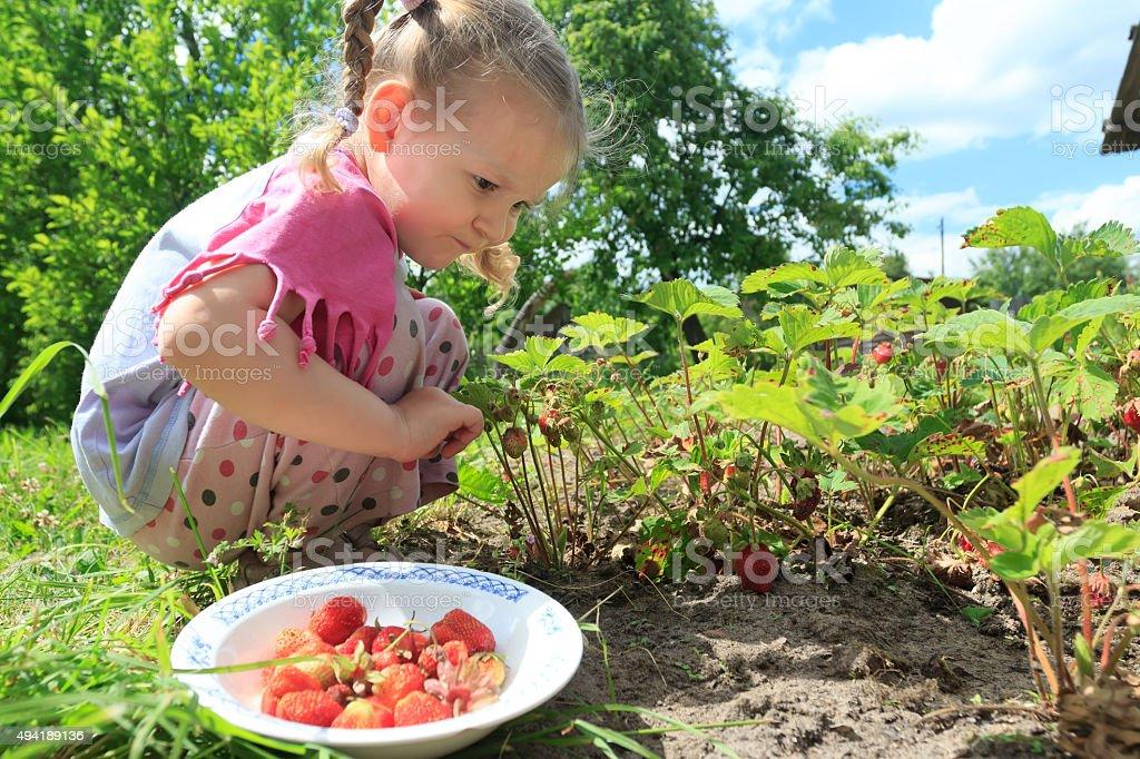 Toddler girl picking home-grown garden strawberries on outdoor garden bed stock photo