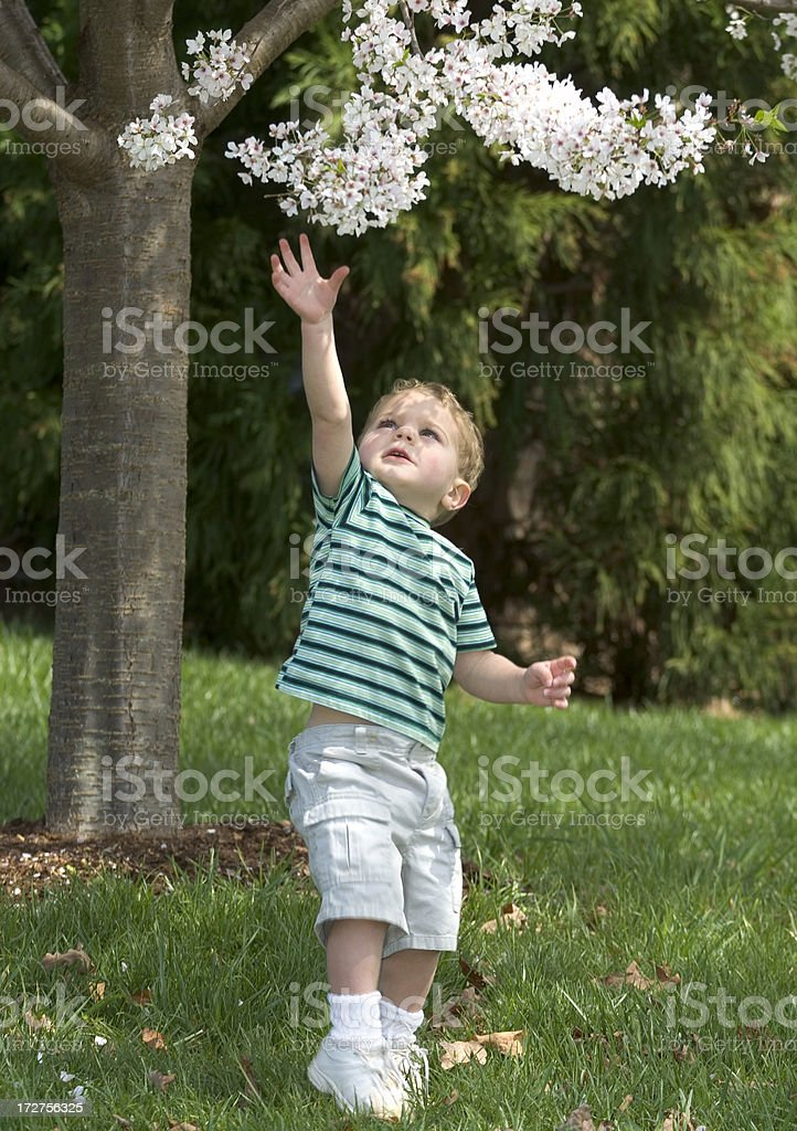 Toddler Reaching For Blooming Spring Tree royalty-free stock photo