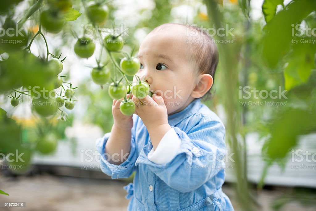 Toddler trying to eat tomatoes straight from the vine stock photo