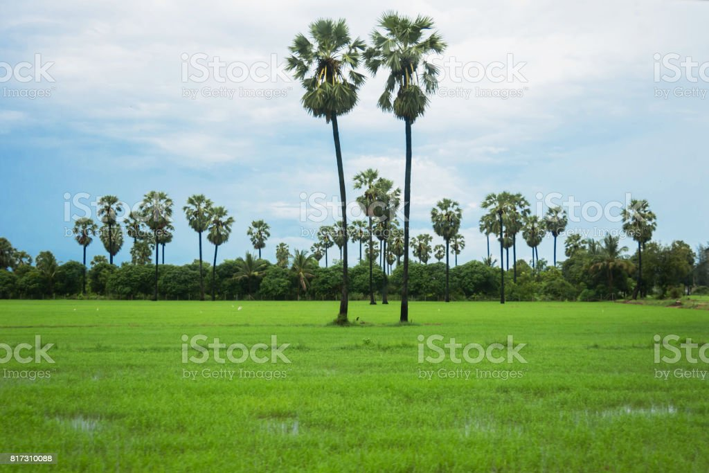 toddy palm in rice field stock photo