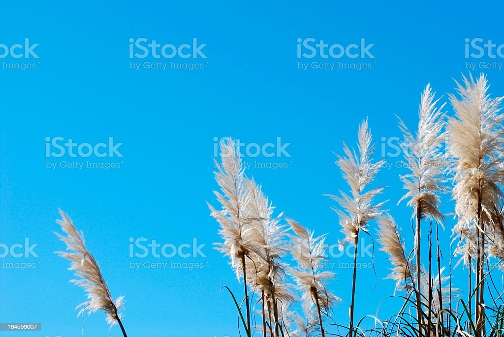 'Toitoi' or 'Toetoe' Grass, backlit by a Evening Summer Sun stock photo