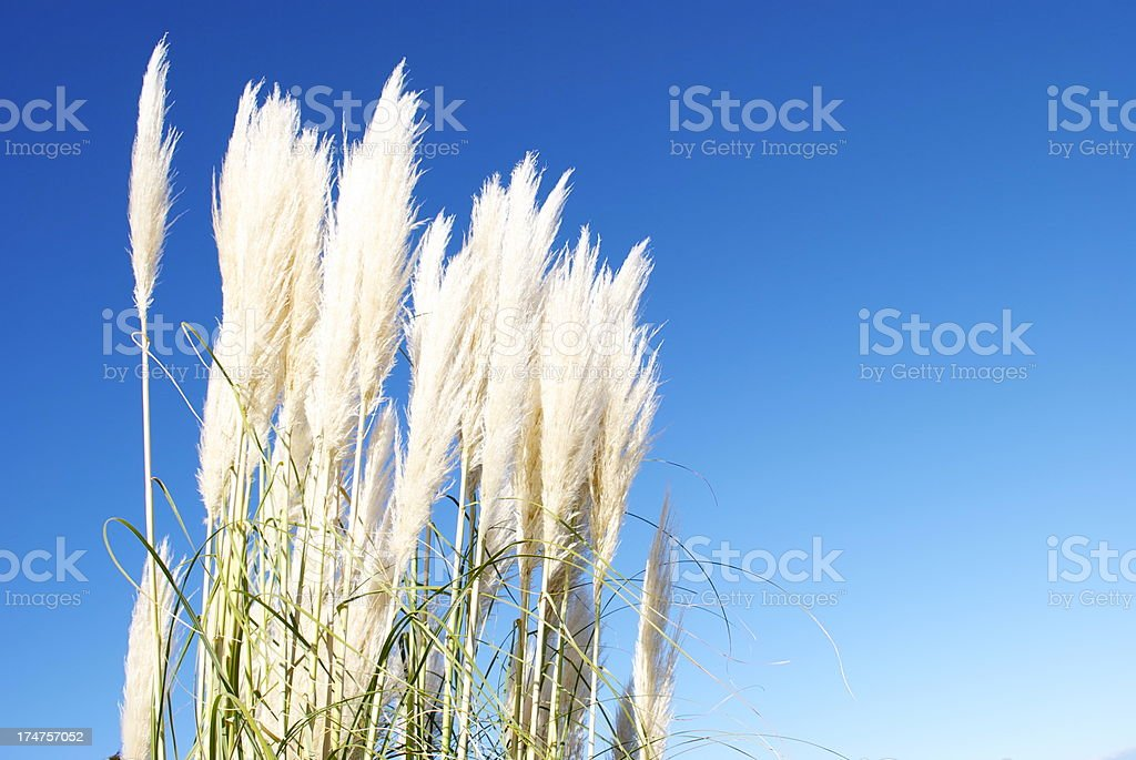 'Toitoi' or 'Toetoe' Grass Heads royalty-free stock photo