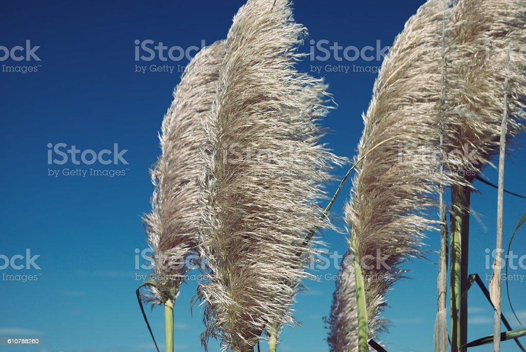 'Toitoi' or 'Toetoe' Grass stock photo