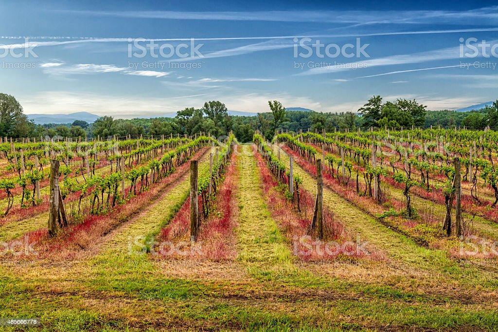 Tokaj vineyard in Slovakia. stock photo