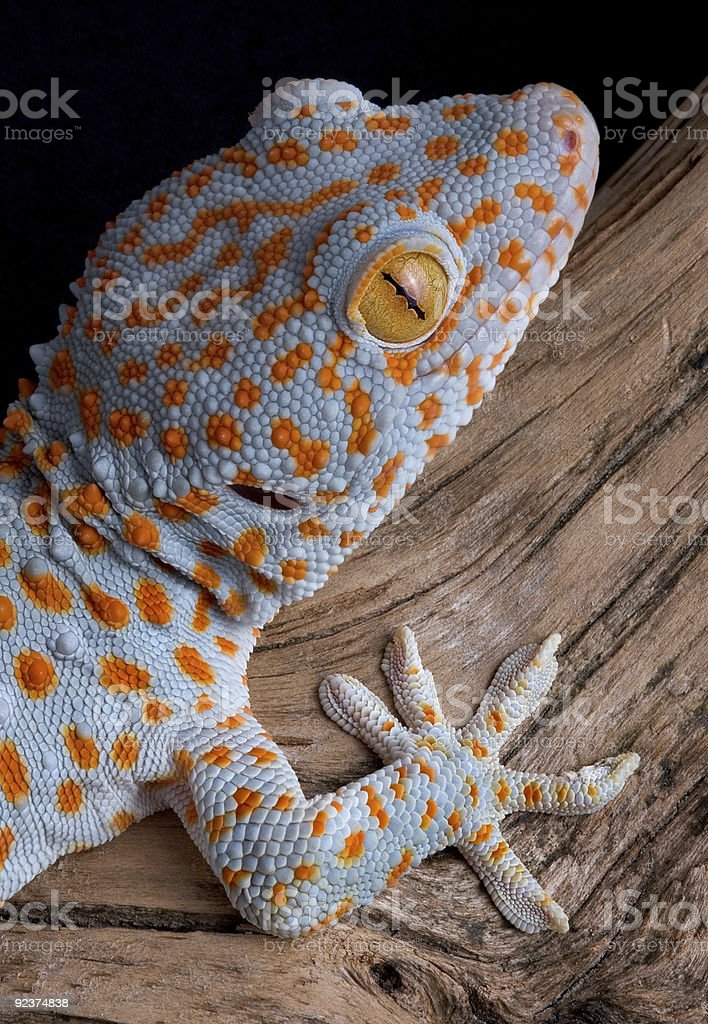 Tokay gecko on wood royalty-free stock photo