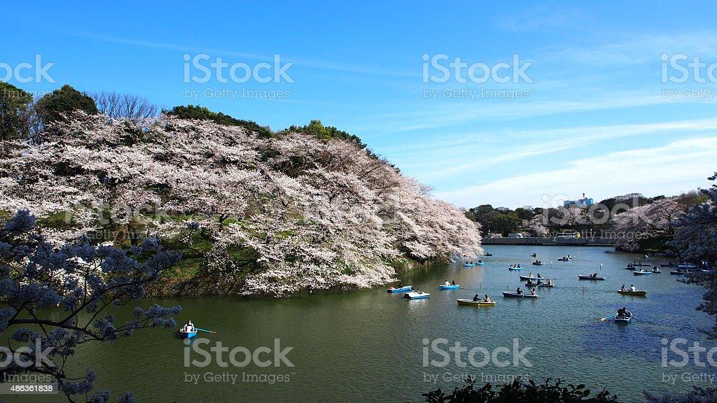 Tokyo Chidoriga-fuchi cherrybrossum royalty-free stock photo