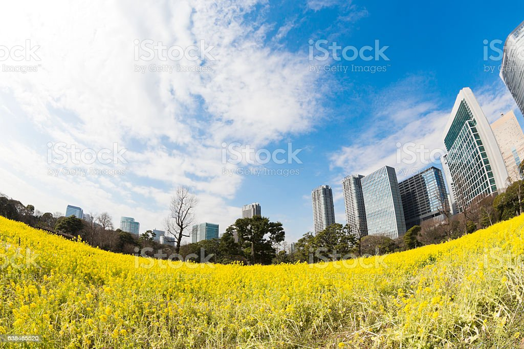 Tokyo Office Buildings Behind Canola Flowers in Spring stock photo