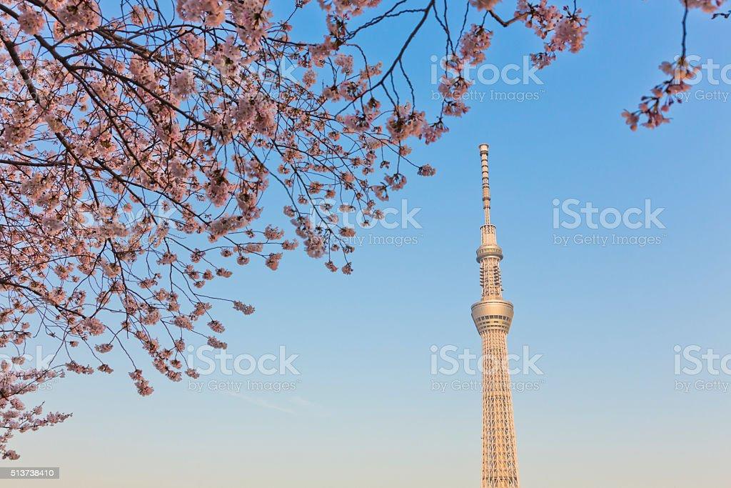 Tokyo Sky Tree through Cherry Blossoms Trees stock photo