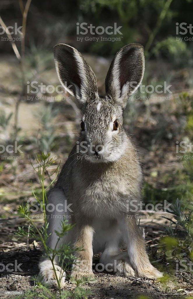 Tolai hare stock photo