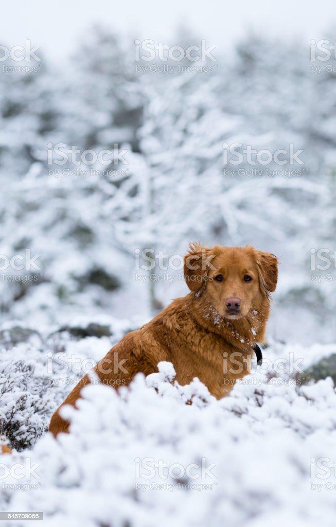 toller dog walking outdoors stock photo