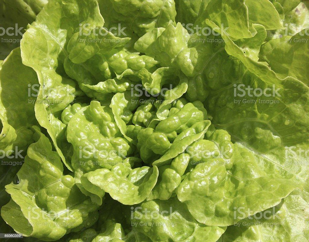 Tom Thumb Lettuce Plant stock photo