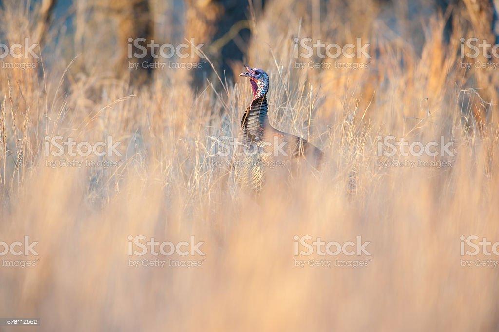 Tom Turkey Hidden in the Grass, Wichita Mtns., Oklahoma stock photo